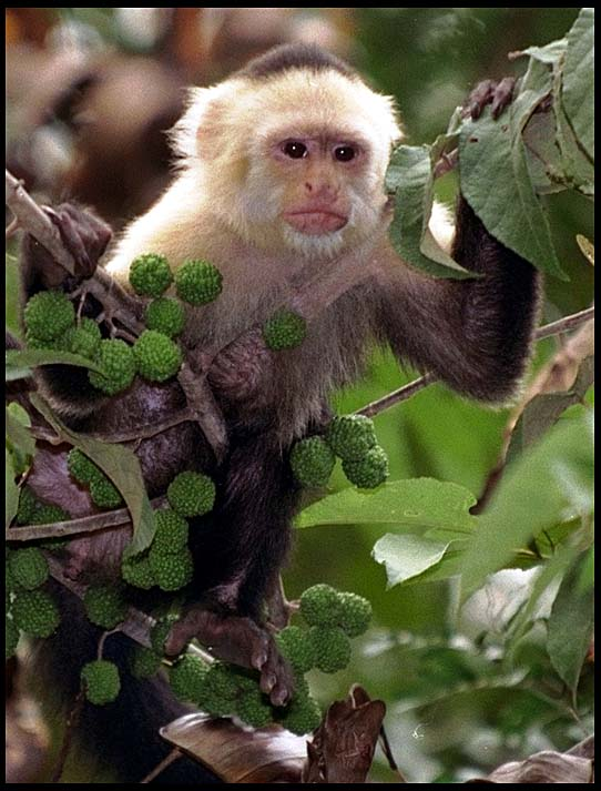 Tropical Rainforest Baby Monkeys Capuchin is the smartest