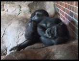 Digital photo titled sleeping-apes