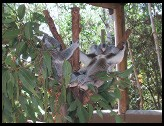 Digital photo titled koalas
