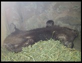 Digital photo titled wombat-sleeping