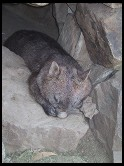 Digital photo titled wombat