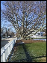 Digital photo titled chatham-tree