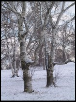 Digital photo titled snowy-trees