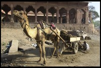 Digital photo titled camel-hauling-dung-in-fatehpur-sikri