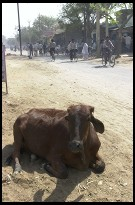 Digital photo titled cow-in-agra-city-street