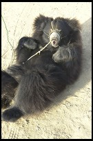 Digital photo titled roadside-bear-lying-down