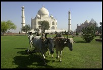 Digital photo titled taj-mahal-oxen-mowing-lawn-horizontal