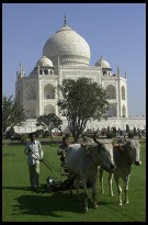 Digital photo titled taj-mahal-oxen-mowing-lawn-vertical