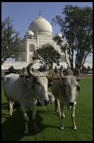 Digital photo titled taj-mahal-oxen-resting