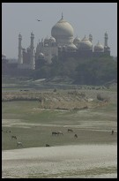 Digital photo titled taj-mahal-with-bird-cows-and-buffalo