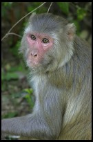 Digital photo titled keoladeo-ghana-monkey