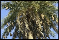 Digital photo titled keoladeo-ghana-nests-hanging-from-palm-tree