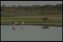 Digital photo titled keoladeo-ghana-saras-cranes-and-antelope