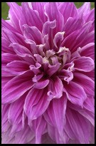Digital photo titled purple-flower