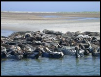 Digital photo titled seals-on-south-beach-chatham