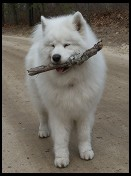Digital photo titled samoyed-with-log