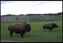 Digital photo titled bison