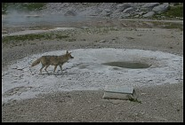 Digital photo titled coyote