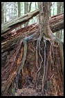 Digital photo titled sitka-forest-roots
