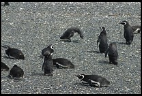 Digital photo titled penguins-14