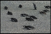 Digital photo titled penguins-3