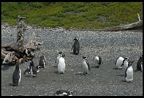 Digital photo titled penguins-5