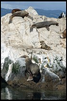 Digital photo titled sea-lions-12