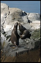 Digital photo titled sea-lions-8