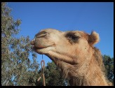Digital photo titled camel-head