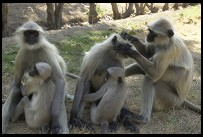 Digital photo titled apes-grooming-at-akbars-tomb