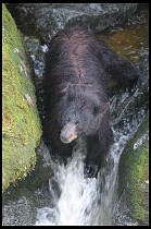 Digital photo titled black-bear-mother-4