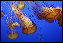 Digital photo titled mb-jellyfish-1