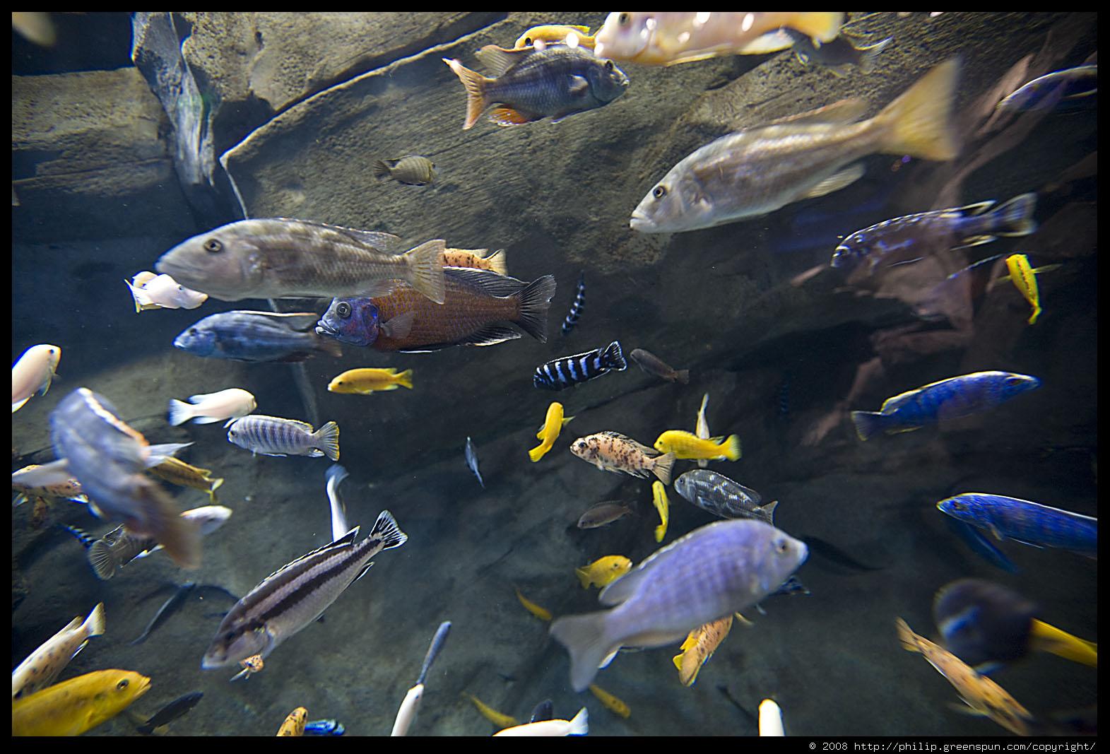 Freshwater aquarium fish in south africa - Cichlids