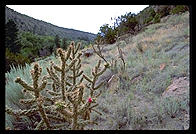 Cactus.  Bandelier National Monument (New Mexico).