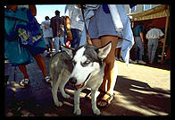Siberian Husky at Indian Market.  Santa Fe, New Mexico.