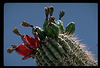 Cactus.  Goodyear, Arizona.