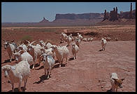 Goats. Monument Valley.  Utah