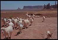 Goats. Monument Valley.  Utah