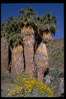Fan Palms. This is California's only native species of palm tree.  Palm Canyon.  Palm Springs, California
