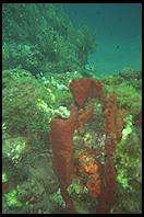 Coral.  Anse Chastanet.  St. Lucia. Caribbean.