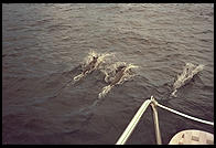 Dolphins riding the Diane's wake.  Caribbean Sea.
