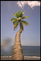 Palm Tree.  St. Lucia