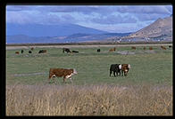 Cows.  Lower Klamath National Wildlife Refuge