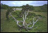 The trees near the raukar at Langhammars (at the northern part of Gotland) were very short, perhaps due to a combination of poor soil (limestone) and intense wind.