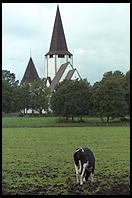 Cows and Church.  Tingstade (northern Gotland).