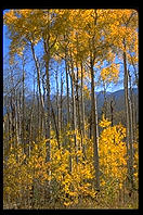 Aspens.  Colorado.