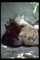 Otters.  Audubon Zoo.  New Orleans, Louisiana.
