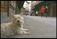 Terrier on Florence's Ponte Vecchio