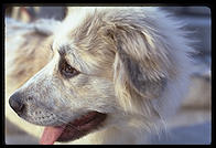 Mombasa.  A Great Pyrenees puppy.  Harvard Yard 1998