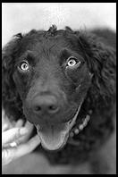 Vincent, a Boykin Spaniel, in Harvard Yard.  Cambridge, MA 1998.